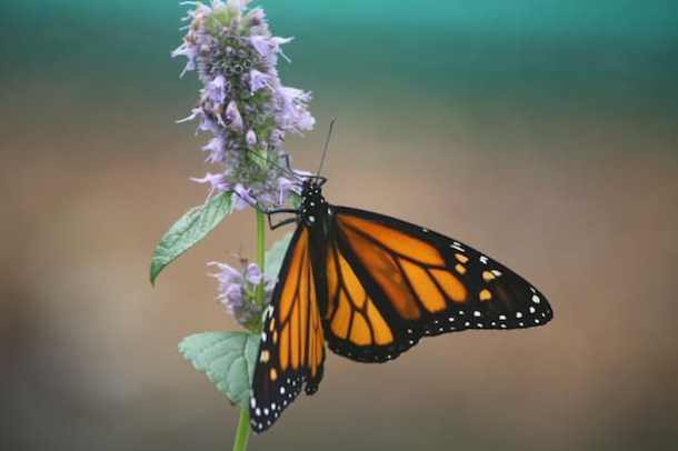 monarch butterfly north carolina