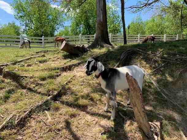 Goat at Historic Oak View County Park in Raleigh