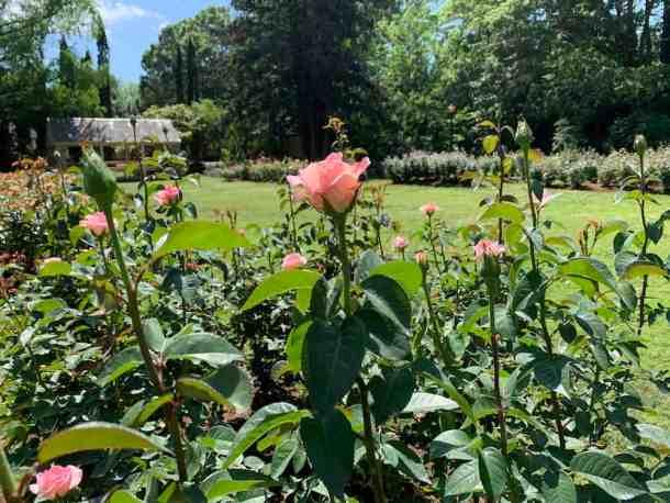 roses at Raleigh Rose Garden