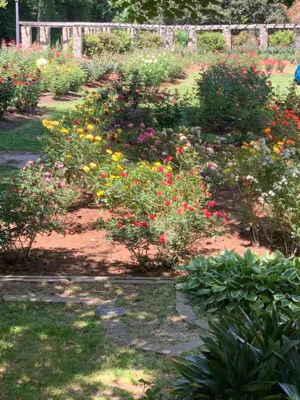 Several rose bushes at Raleigh Rose Garden