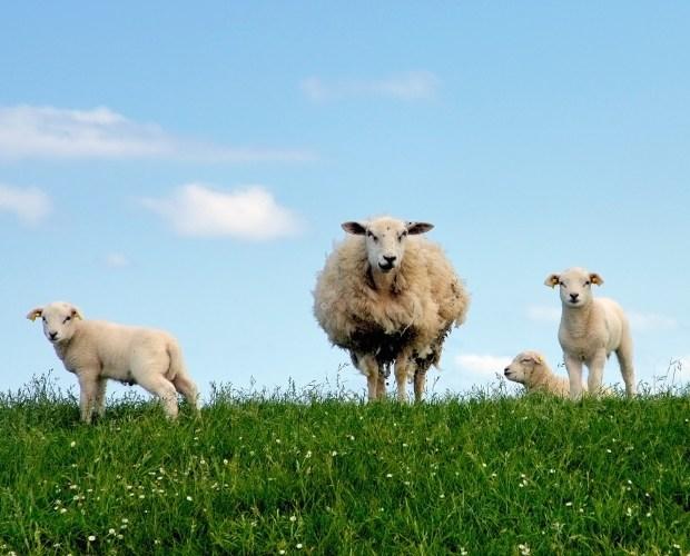 Happy lambs in meadow
