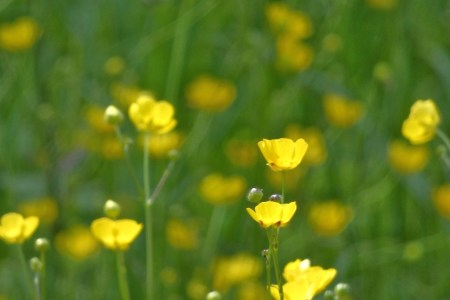 lundi soleil lundi fleuri fleurs des champs boutons d'or