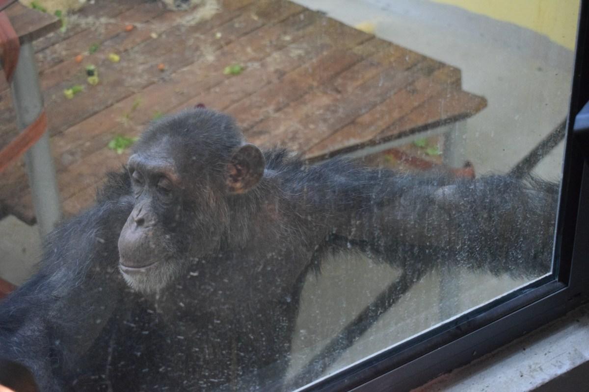 Шимпанзото Коко најде нови другари и прекрасен дом во ЗОО Скопје