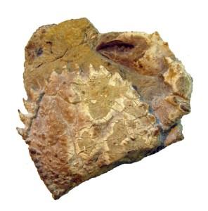 Moianella cervantesi n. gen., n. sp. Holotip MGB 59624 vista dorsal, Priabonià (Eocè tardà), Moià, Bages.
