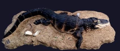 Escultura del caiman extingit Diplocynodon muelleri