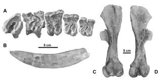 Figura 3. Diverses restes del rinoceront Dromoceratherium mirallesi trobades als jaciments de Gelida. Es mostra la sèrie dentària superior, una incisiva inferior, i un fèmur en vista anterior i posterior. Imatge: Casanovas-Vilar et al. 2018.