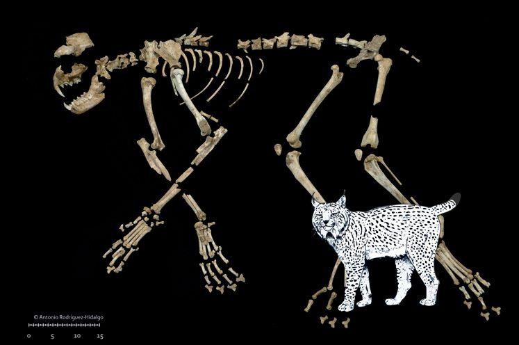 Lynx pardinus de la cova del Gegant. Imatge: A. Rodríguez Hidalgo