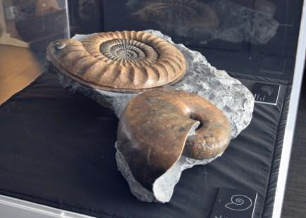 """Nàutil (esquerra) i ammonit (dreta) del Juràssic inferior. Peces de l'exposició """"Un mar de fòssils"""", al museu de l'ICP"""