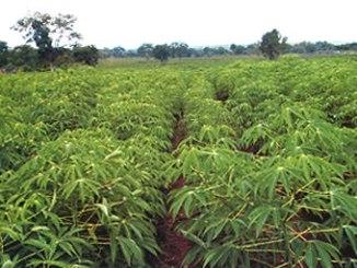 cassava-farm1
