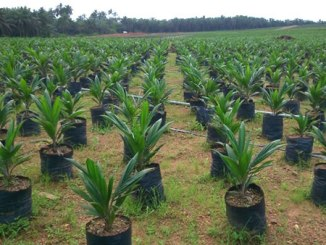 oil-palm-seedlings