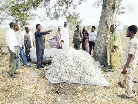Tears of Oke-Ogun cotton farmers •When the 'white gold' no longer glitters