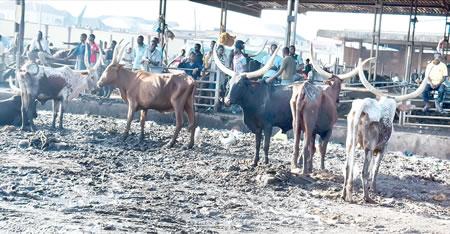 open grazing Cattle Market