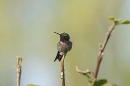 2013-05-03_Hummingbirds_Booker_0087