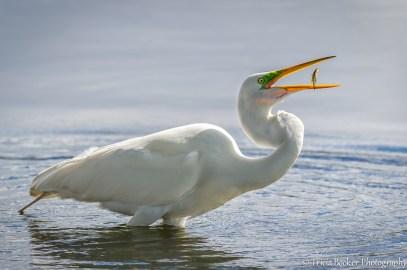 Great Egret Catch