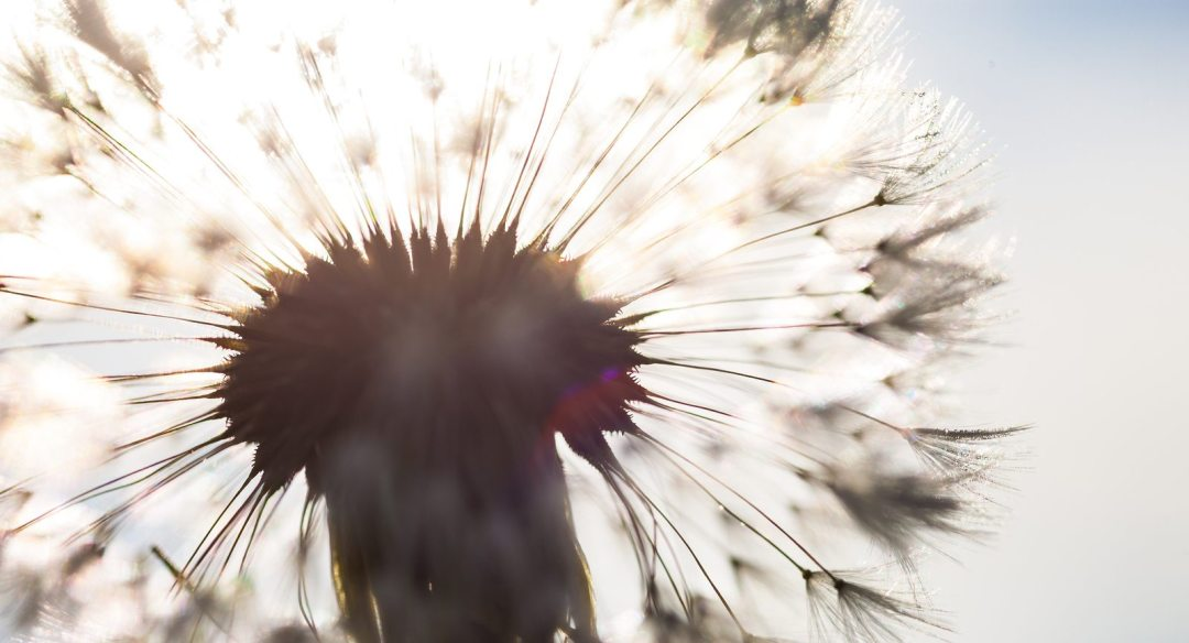 Silhouette Of The Head Of Seeds Of The Dandelion Flower In The S