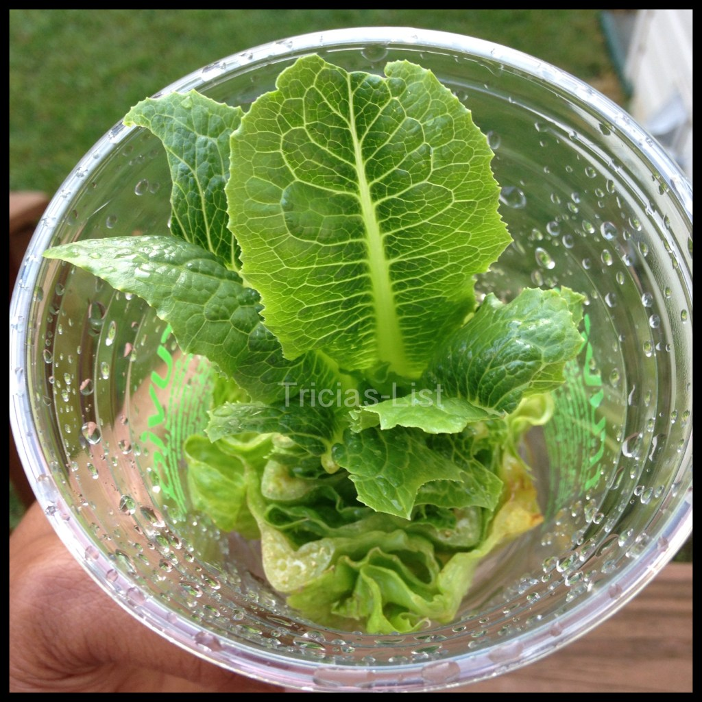 Grow Your Own Lettuce .. It Really Works ! #Green