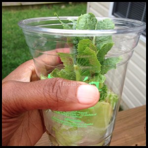 regrow your lettuce (8)