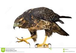 young-black-chested-buzzard-eagle-3885378