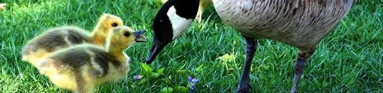 raising goose
