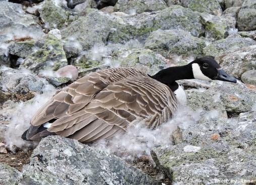 Mama Goose hatch her eggs