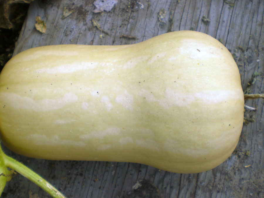 Squash Winter Butternut Waltham