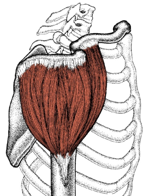 Deltoid muscle side view illustration