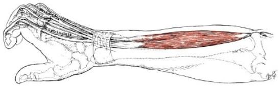 extensore digitorum muscle illustration