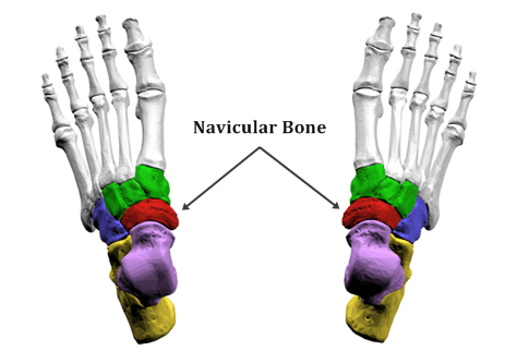 Navicular Bone labeled