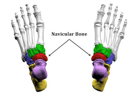 Navicular Bone labeled