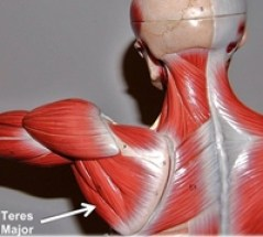muscle model showing teres major muscle labelled