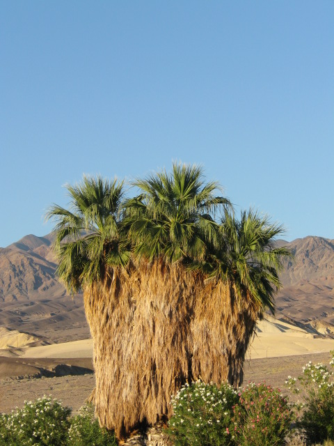 Palm Tree in Death Valley!