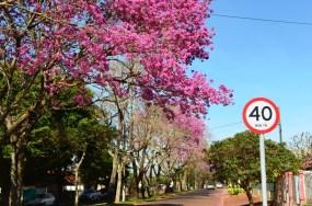 Avenida Manoel Francisco da Silva em Mamborê e seus Ipês floridos.