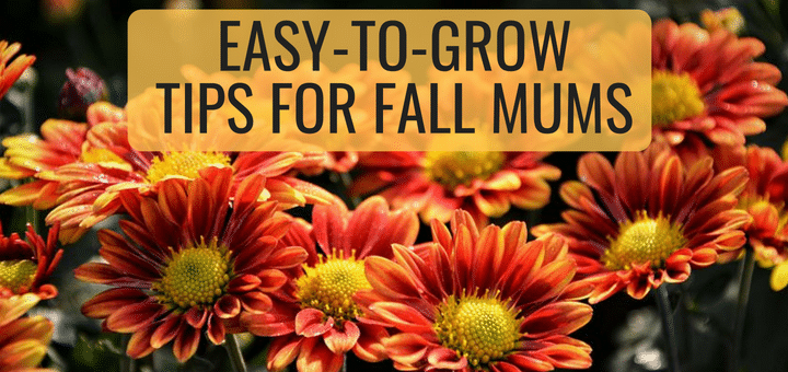 fall mums tips for beginners trillium living