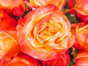 Coral and Yellow Rose Geneva