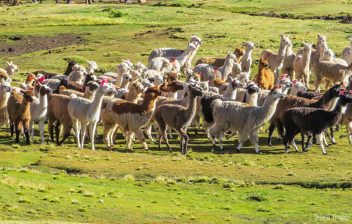 herd of alpacas at Rainbow Mountain Peru