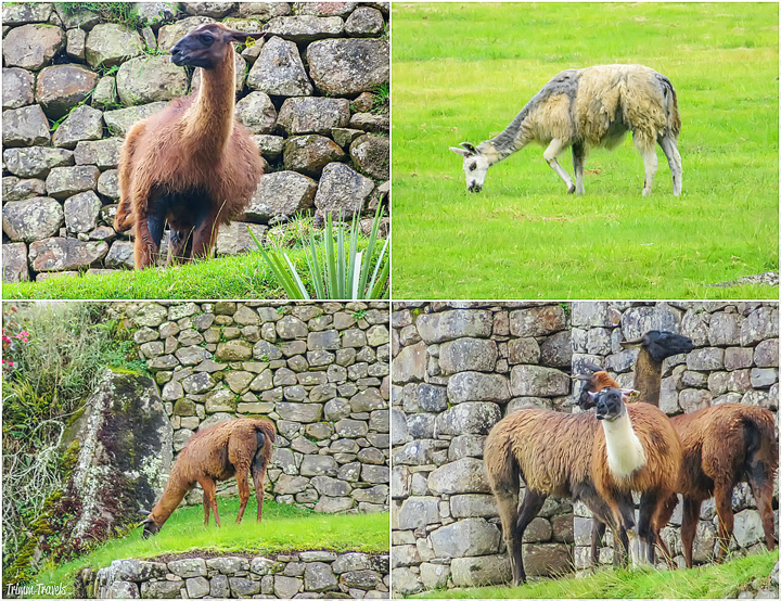 4 photo collage of alpacas in machu picchu peru
