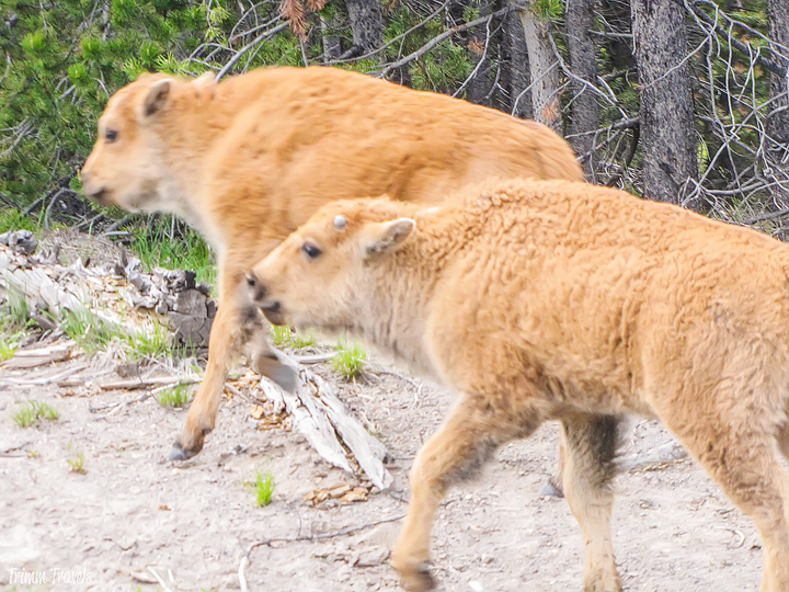 a pair of baby bison in yellowstone
