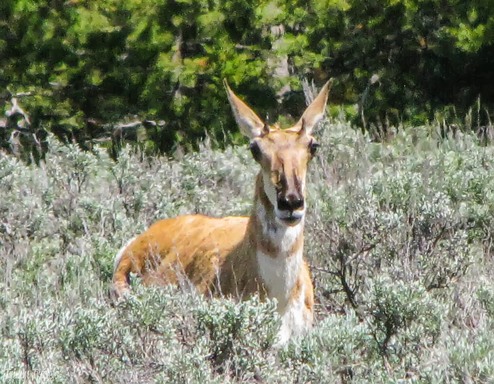 closeup of a pronghorn in grand teton