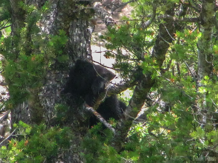 two black bear cubs up in a tree in yellowstone