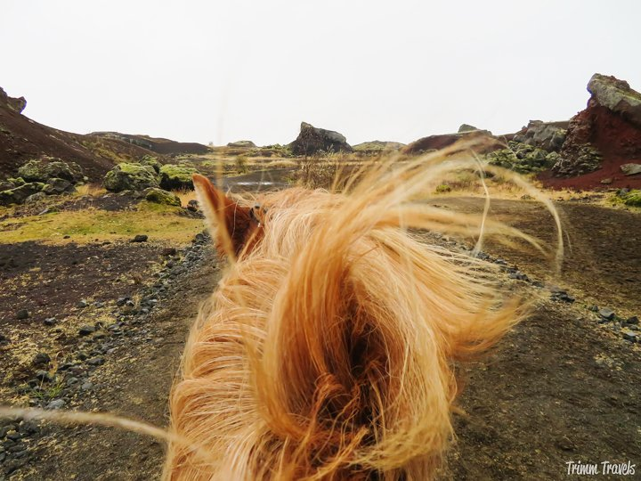 If you are planning a trip to Iceland, find out why Viking Horses is the BEST choice for a truly authentic experience of riding Icelandic horses! #iceland #icelandichorse #reykjavik #horses #ridinghorses #tölt #tolt #icelandicfood #europe #foodie #travel #adventure