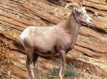Bighorn Sheep in Zion National Park, Utah