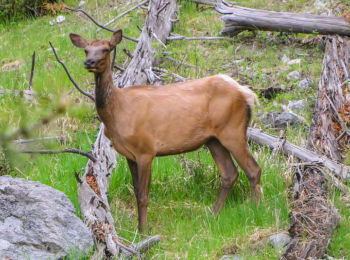 Young Elk in Yellowstone National Park, Wyoming