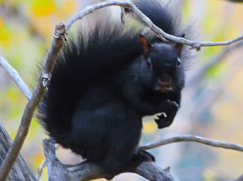 Black squirrel in Calgary, Alberta, Canada