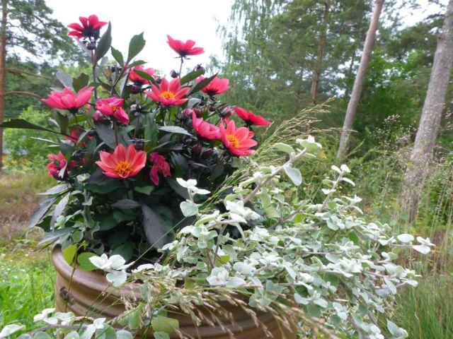 Sommergeorginer og strukturplante