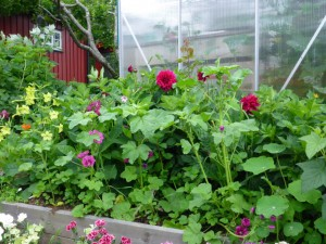 Øverste terrasse: Georginer, blomkarse, nicotinia og rosekattost