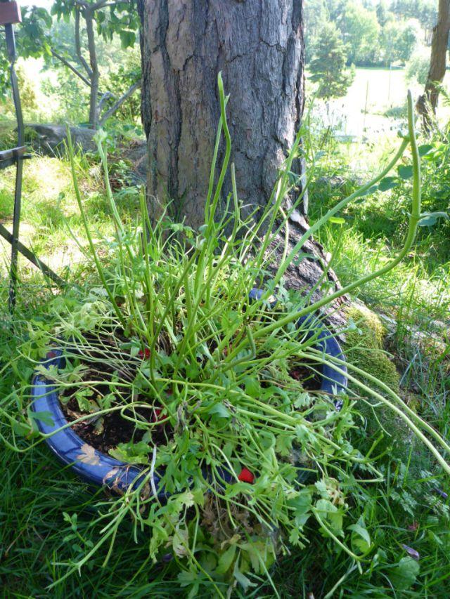 Rådyrspiste anemoner