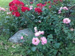 rosebed2