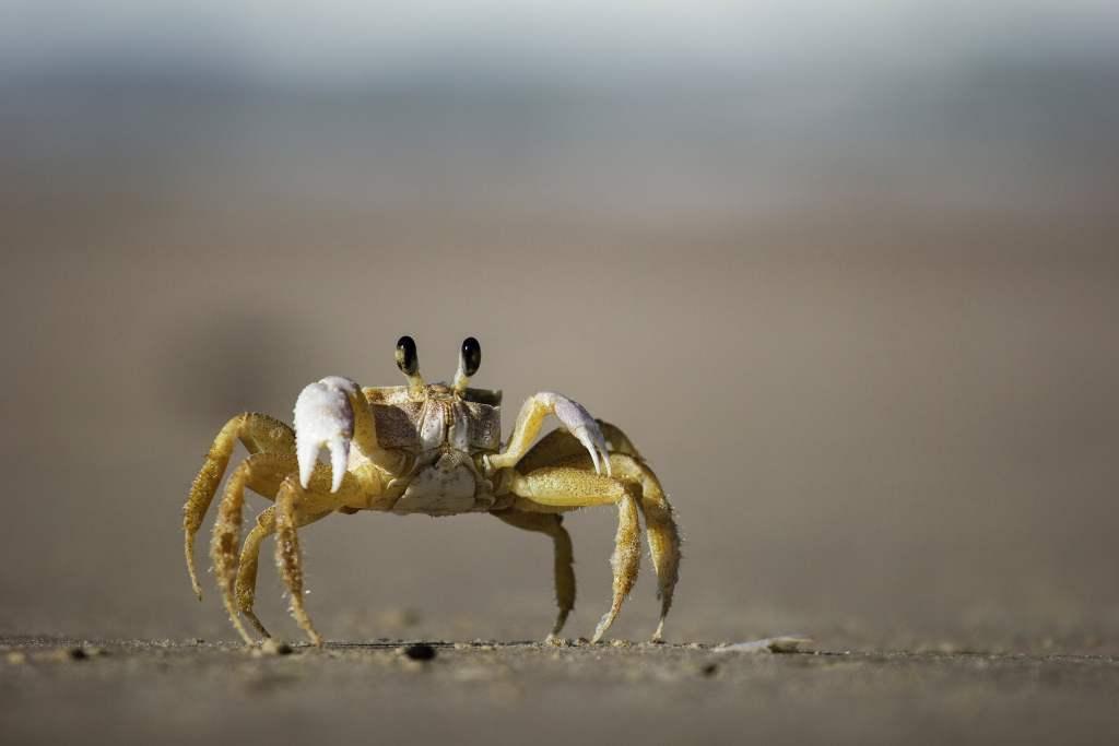Crab walking on Sand