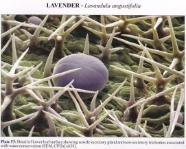 Microscopic Images of Lavender essential oil sack in the plant