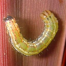 Cabbage_tree_moth_caterpillar
